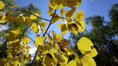 Slow motion push through Aspen leaves during Fall Stock Footage