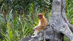 Young Proboscis monkey sitting on a mangrove tree Stock Footage