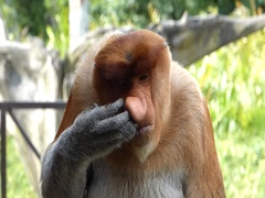 Male Proboscis monkey (Nasalis larvatus) itching nose Stock Footage