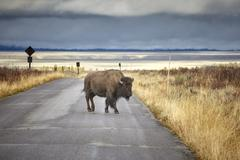 American bison crossing road in Grand Teton National Park, Wyoming, USA. Stock Photos