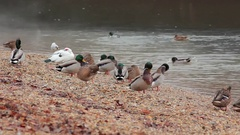 Mallards on riverside v2 Stock Footage