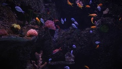 Bright multi-colored tropical fish swim among the rocks and seaweed Stock Footage