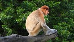 Female Proboscis monkey (Nasalis larvatus) sitting on a tree Stock Footage