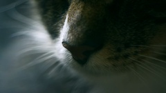 Close up. Cat nose breathing Stock Footage