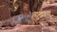 Galapagos Land Iguana on North Seymour island, Galapagos National Park, Ecuador Stock Footage