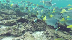 School of Yellow-tailed Surgeonfish in Galapagos National Park, Ecuador Stock Footage