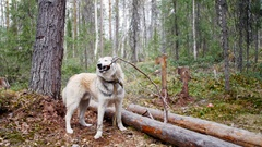 Dog holding a stick in his mouth in the forest on the background Stock Footage