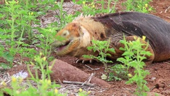 Galapagos Land Iguana eating flowers Stock Footage