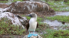 Blue-footed Booby on North Seymour Island, Galapagos National Park, Ecuador Stock Footage