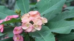 Euphorbia millii pink flowers Stock Footage