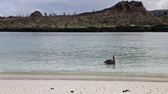 Brown pelican swimming near the beach of Chinese Hat island Stock Footage