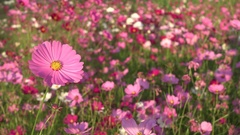 Cosmos flowers swaying in the wind Stock Footage