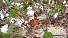 Cotton Plant Ready for Harvest Stock Footage