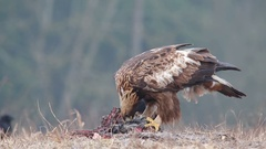Golden Eagle. Winter feeding. Stock Footage