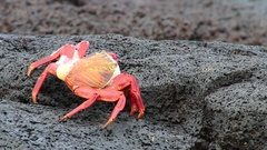 Sally lightfoot crab molting on Chinese Hat island, Galapagos, Ecuador Stock Footage