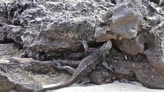 Marine Iguana feeding on Chinese Hat island, Galapagos, Ecuador Stock Footage