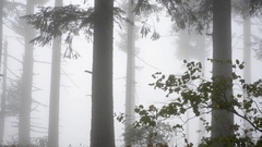 Several Fir Trees in a foggy forest. Branches moving in the wind. Stock Footage