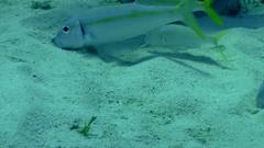 Goat Fish Feeding  Stock Footage