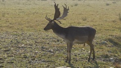 Deer with big horns watching in the camera by  Sheyno. Stock Footage