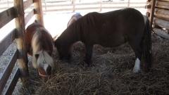 Shetland ponies in paddock Stock Footage