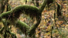 Upward pan of a mossy tree in fall Stock Footage