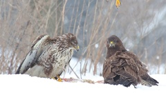 Common Buzzard. Fight for the prey. Stock Footage