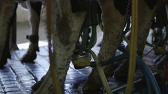 Up close view of milk being pumped from cows udders Stock Footage