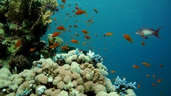 Coral and fish in the Red Sea, Egypt Stock Footage