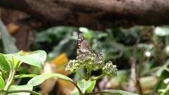 4K Kamehameha Butterfly (Vanessa tamehameha) Stock Footage