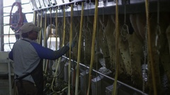 Dairy worker spraying cows for cleaning Stock Footage