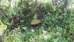 Mushrooms orange cap boletus on the moss Stock Footage
