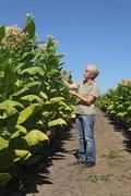 Female farmer in tobacco field Stock Photos
