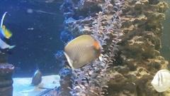 Butterflyfish in decorated Marine Aquarium Stock Footage