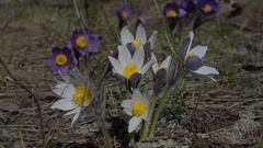 Spring snowdrops grow in the forest Stock Footage
