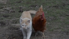 Homemade chicken befriends a cat Stock Footage