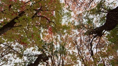 Looking up through the leaves during Fall Stock Footage