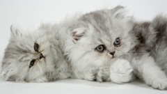 Two cute fluffy kittens against a white screen Stock Footage