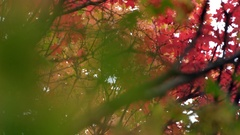 View looking though leaves in the Fall from slider Stock Footage