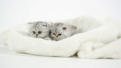 Two cute fluffy kittens on white blanket Stock Footage