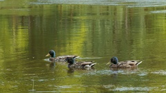 Three male ducks swimming in water Stock Footage