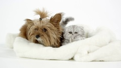 Two cute fluffy kittens sitting with puppy on white blanket Stock Footage
