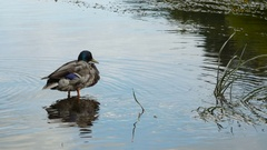 Male duck sits in water Stock Footage