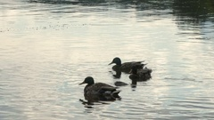 Wild ducks swimming in water. Silhouette of ducks on the lake Stock Footage