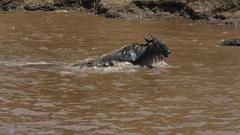 A wildebeest struggles to free itself from the jaws of a crocodile Stock Footage