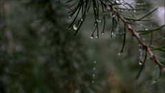 Raindrops on larch (close-up) Stock Footage