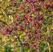 Red berries in autumn Stock Photos