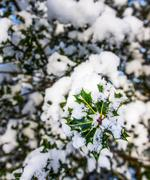 Holly branch covered in snow Stock Photos
