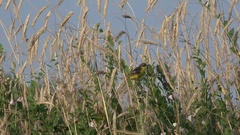 Bird Wood warbler sitting on stalks of grass in field Stock Footage
