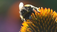 Insect in white pollen bumble bee collects nectar on an orange flower Stock Footage