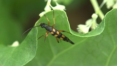 Longhorn beetle Genus Sagridola longicorn are cosmopolitan family of beetles Stock Footage